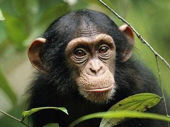 父 チンパンジー 画像.jpg